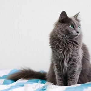 Как содержать кошку нибелунг