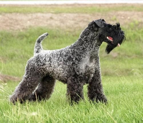 Порода собаки керри блю терьер