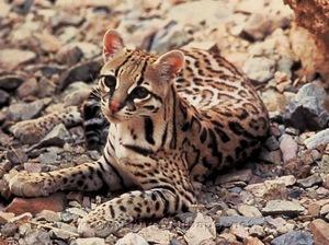 Породы диких кошек