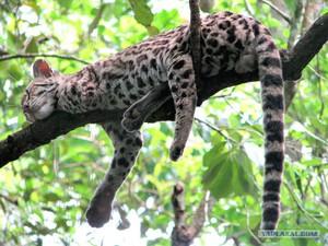 Какие есть породы диких кошек
