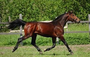 Голштинская порода лошадей: описание внешнего вида