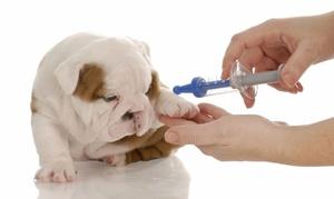 Вакцинация собак - правильная последовательность