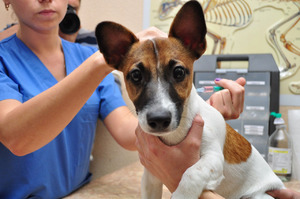 Вакцинация собак должна проводиться в ветклинике