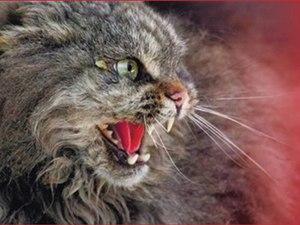 Буйная стадия бешенства кошек