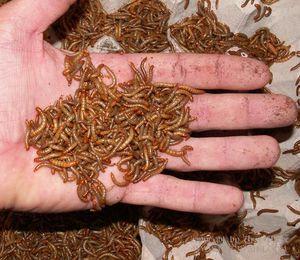 Мучные черви для ящериц