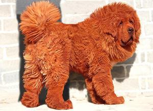 Породы дорогих собак