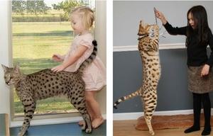 Ашера и дети - рост кошек