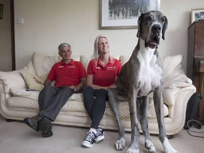 Самая большая собака в мире, ангел-хранитель для человека