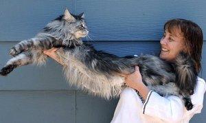 Самый крупный кот - мейнн кун Стьюи