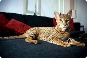 Особенности породы кошек ашера