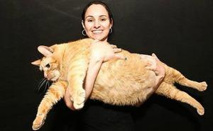 Кот Химми является самым толстым в мире