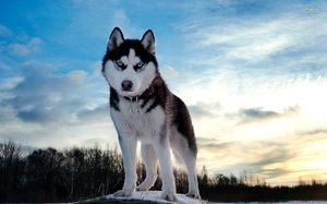 Сибирский хаски на природе