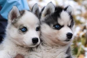Красивые щеночки хаски