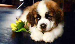 Милый щеночек сенбернар