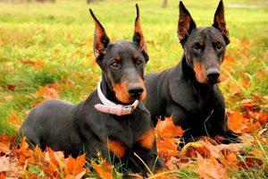 Пара собак доберманов