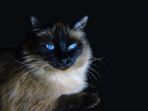 Породы редких кошек