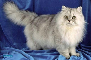 Персидская кошка считается ленивой и ласковой