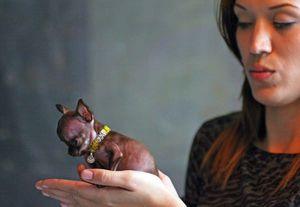 Внешний вид самой маленькой породы собак