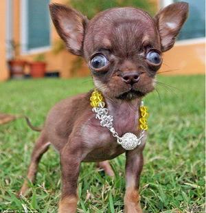 Самая маленькая собака в мире