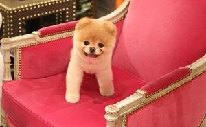 Какая самая маленькая порода собак