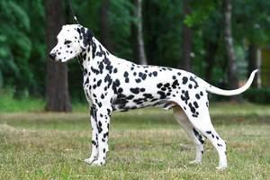 Далматинец - активная и физически развитая собака