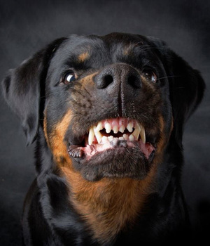 Как вести себя с агрессивной собакой