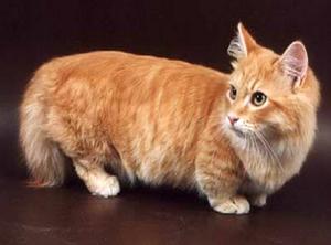 Кошки манчикины в домашних условиях