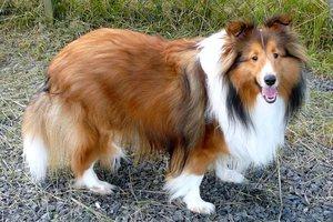 Собака с высоким уровнем интеллекта Шелли