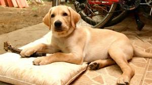 Собака с высоким уровнем интеллекта Лабрадор-ретривер