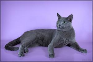 Характе голубых кошек