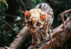 Виды кошачьих животных