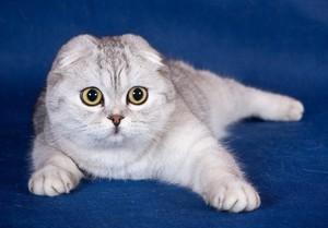 Описание и особенности породы Шотландская кошка