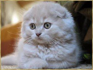 Уход за кошками породы скоттиш страйт и скоттиш фолд