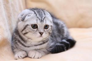 Характер вислоухих кошек