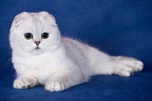 Разведение шотландских вислоухих кошек в домашних условиях