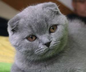 Содержание Шотландской вислоухой кошки