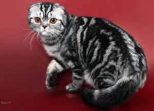 Кормление шотландских вислоухих кошек