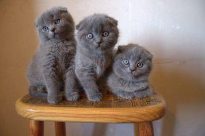 Выбор котенка Шотландской вислоухой кошки
