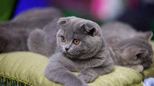 Правильный уход за шотландской вислоухой кошкой