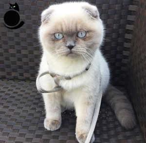 Внешность Шотландской вислоухой кошки