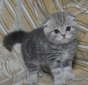 Рацион шотландского котенка