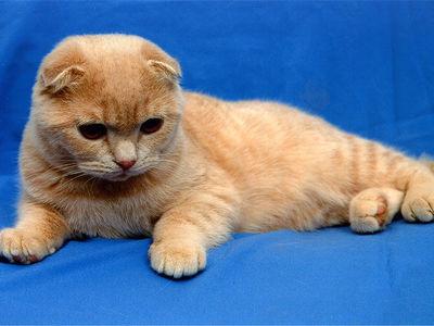 Шотландский вислоухий котёнок: содержание и уход