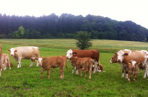 Коровы пасутся на пастбище