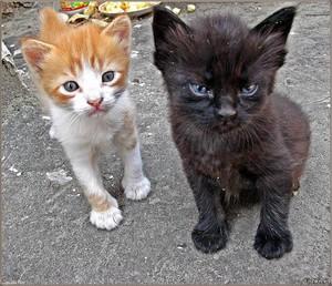 Дворовые котята