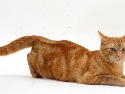 Сколько времени длится течка у кошки и как её определить
