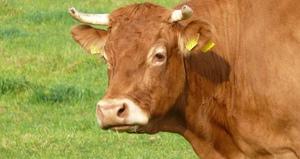 Продолжительность жизни коров и что на нее влияет
