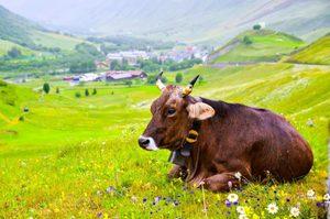 Продолжительность жизни коровы с учетом различных условий содержания