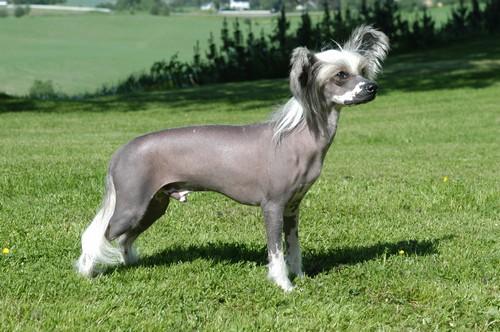 Собака китайская хохлатая