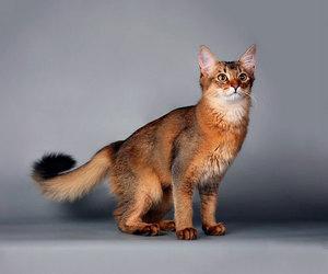 Кошка сомали