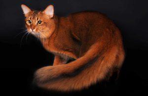 Как выглядит сомалийская кошка